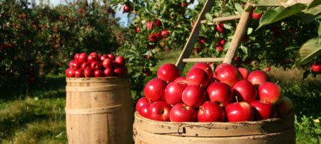 Two large brown barrels full of red apples next to orchard trees full of apples
