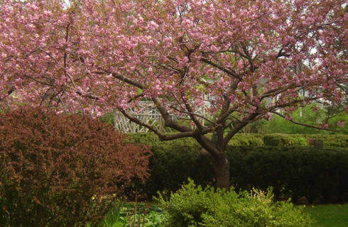 Apple tree covered in pink blossoms in a agrden with red tulips and white flowers.