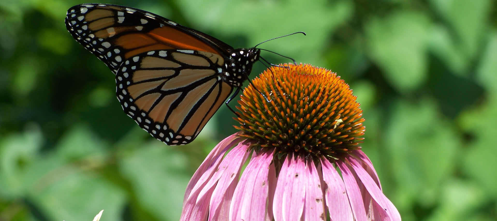 A Monarch butterfly rests on a pink flower in a green garden.