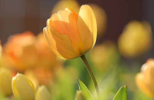 Detail of a yellow tulip with more yellow tulips in background.